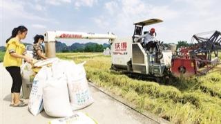 盛夏时节 早稻丰收